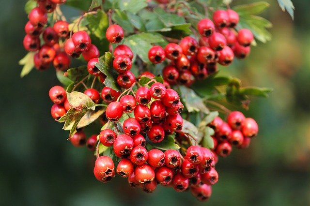 It's Hawthorn Time