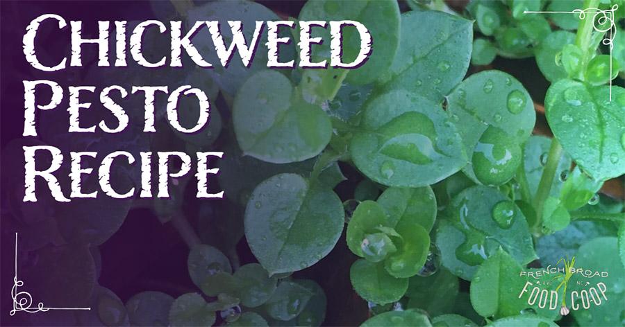 Chickweed Pesto Recipe
